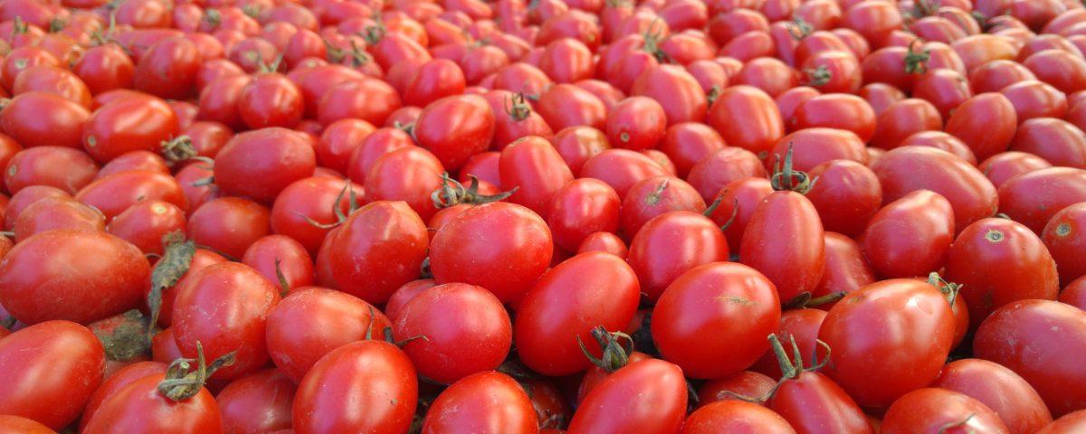 conserve artigianali: passato di pomodoro italiano - processo produttivo - produzione casareccia - datterino biologico - raccolta